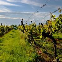 Nad ulicí Vinohradskou...jsou vinohrady. Kupodivu... :)